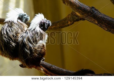Couple Oedipus Tamarin