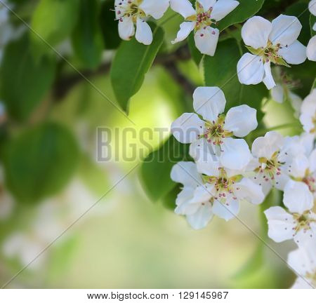Spring blossom  on blurred backgroun