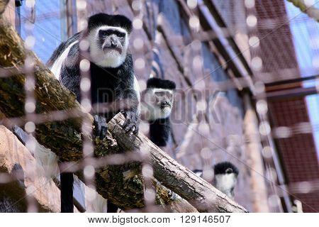 Monkey Mantled Guereza