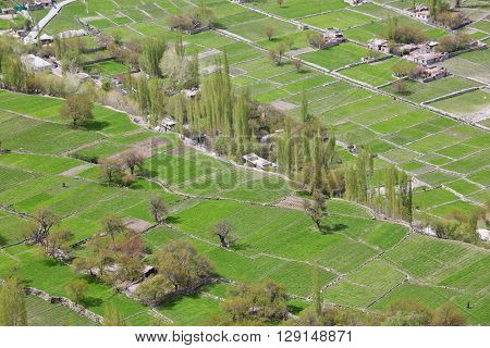 Himalayan oasis - gardens with apricot trees and poplars among barley fields in Turtuk village, Ladakh, Jammu & Kashmir, India