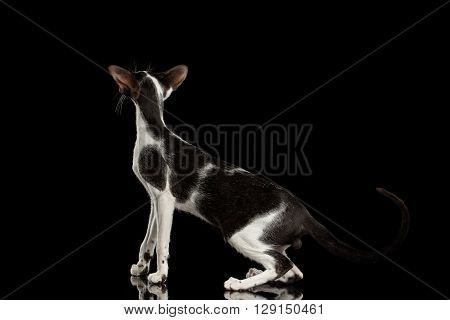 Black and White Oriental Cat With Big Ears Standing and Looking up on Black Isolated Background