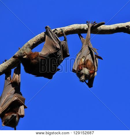 Big fruit bats living in Australia. Also named flying foxes.