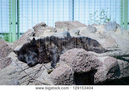 Black Wolf Sleeps