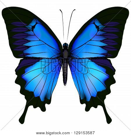 Blue butterfly papilio ulysses. Mountain Swallowtail isolated vector on white background