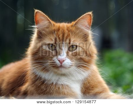 The big, red, fluffy cat. Nature, green grass, summer. Portrait of a luxury cat