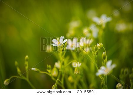 Chickweed Flowers Blooming At Spring