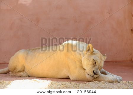 White Lioness Animals