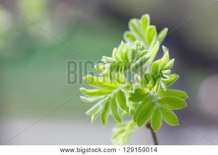 Rowan bud bursting into green leaves. Ash tree twig, branch macro view. Soft focus