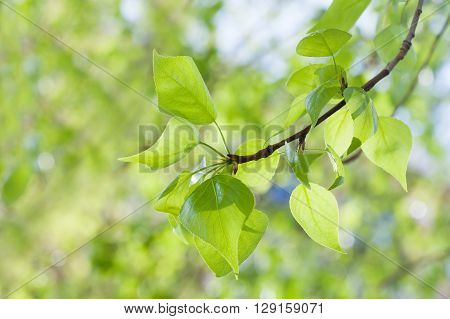 Green leaves on green background. Poplar tree branch macro view. Spring time concept, sunny day