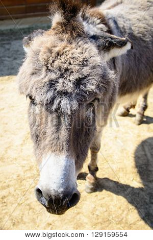 Gray Donkey Animal Closeup