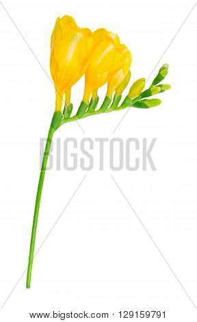 Fresh yellow  freesia flowers with buds twig isolated on white background