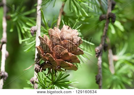 Pine tree branch with pine-cone, pinecone. Macro nature, green energy concept. soft focus