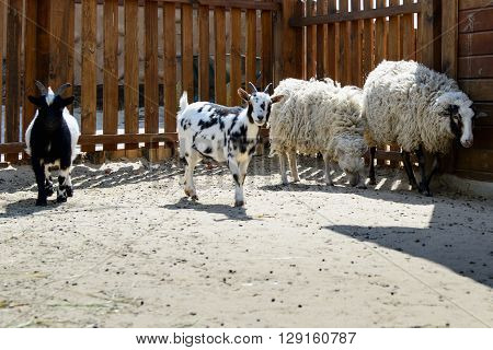 Goat Rams And Sheeps