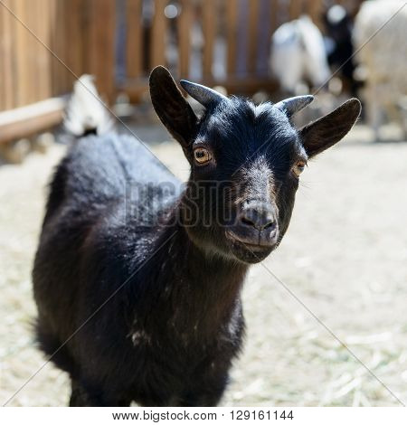 Black Goat Farm Animal