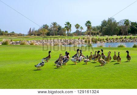 Qatar Doha ducks in the Doha Golf Club