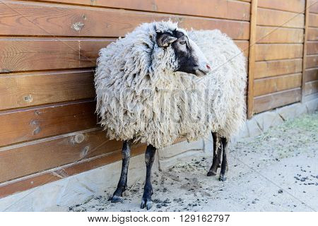 White Sheep Farm Animal