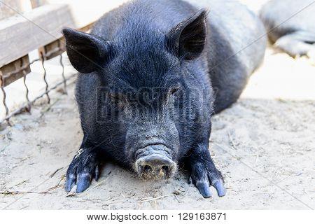 Animal Black Pig