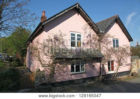 A Devon cottage in characteristic Pink wash and garlanded with wisteria nestling in the evening sunshine