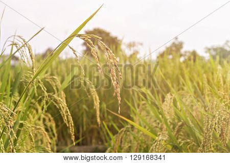 Close up of paddy rice seed on rice field