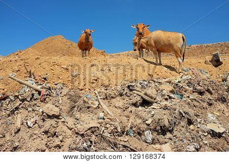 A herd of cows scavenge for food amid hazardous waste and toxic trash at the biggest and most polluted landfill site on the vacation resort island of Bali Indonesia.