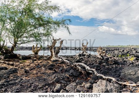 Ironwood Roots On Lava