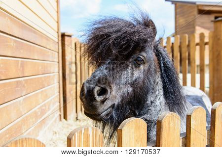 Animal Black Pony