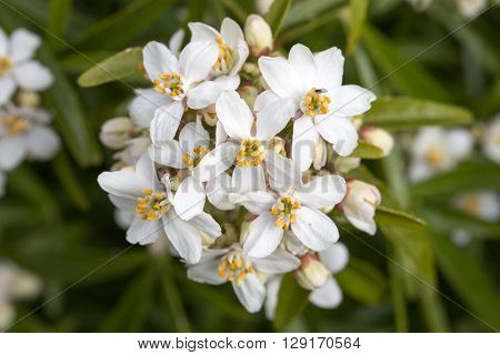Mexican Orange Blossom Choisya Ternata white flower