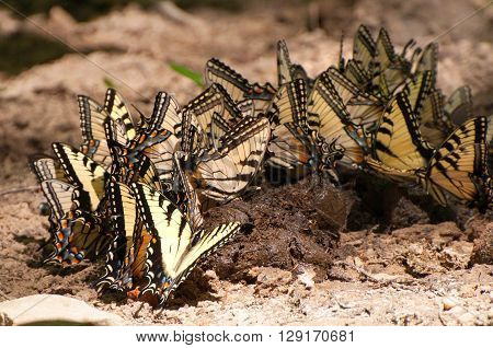 Tiger swallowtail butterflies are eating horse poop.