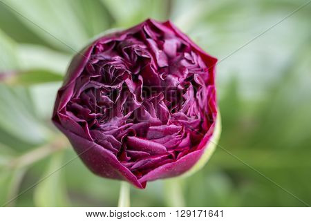 Peony Paeonia peregrina flower garden red background