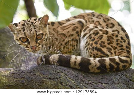 Margay beautiful cat sitiing on the branch in the tropical forest of Honduras and Costa Rica
