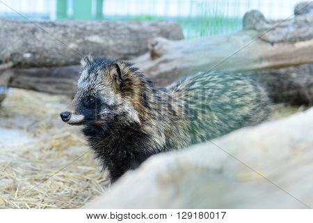 Gray Raccoon Dog