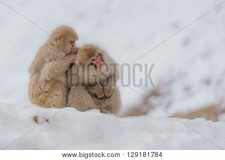 Japanese macaque bathing in hot springs, Nagano, Japan