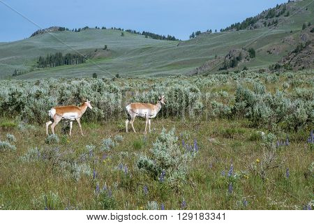 The mountain pasture with two grazing antelopes Wyoming USA