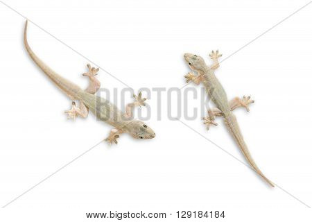Gecko isolate on white with clipping path