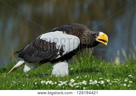 Stellers sea eagle (Haliaeetus pelagicus) standing in grass in its habitat