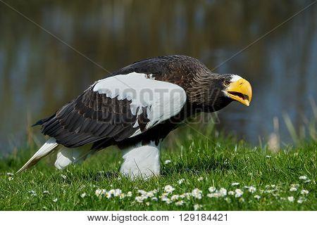 Stellers sea eagle (Haliaeetus pelagicus) standing in grass in its habitat