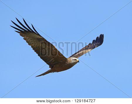 Black kite (Milvus migrans) in flight with blue skies in the background