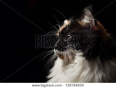 Close-up portrait in profile of spotted cat with green eyes on a black background.