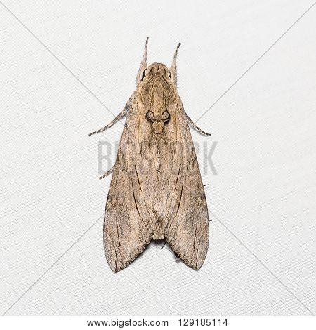 Unidentified Goat Moth On White Screen