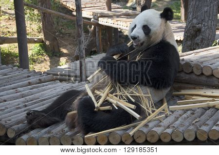 The male giant Panda eats bamboo, Thailand