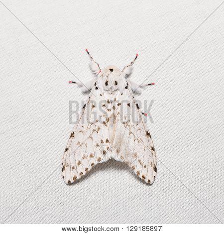 Lymantria Marginalis Moth