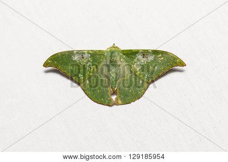 Tanaorhinus Viridiluteatus Moth
