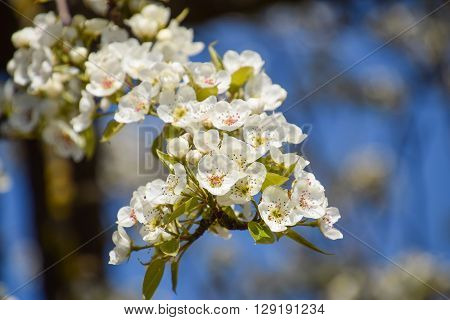 Blooming Wild Pear In The Garden