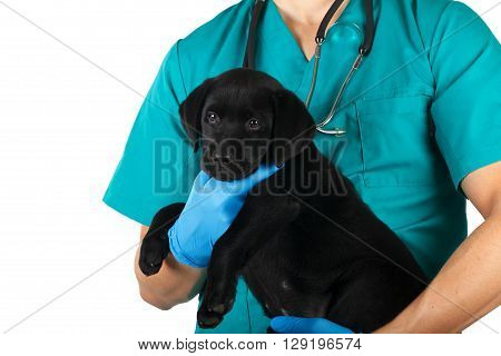 Veterinarian with a sick black labrador puppy
