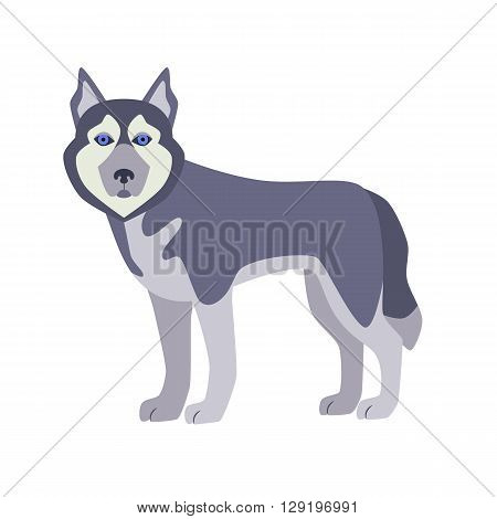 Flat husky pet illustration. Standing cute dog vector. Flat dog animal pet vector icon. Home cartoon standing husky in flat style. Dog colorful silhouette isolated on white background