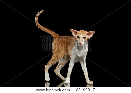 Playful White and Red Oriental Cat With Extremal Big Ears Standing and Looking in Camera Black Isolated Background