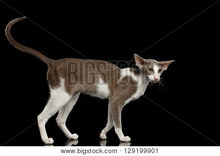 Gray Oriental Cat With Big Ears Funny Standing and Curious Looking at Side Black Isolated Background