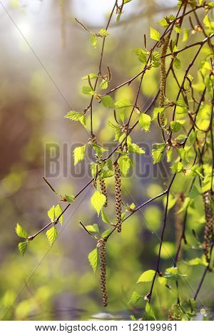 young green leaves on the branches of a birch tree with catkins sparkle in the sun