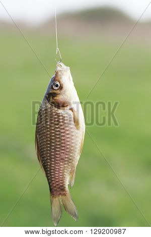 fish of yellow crucian carp hanging on a hook caught by a fisherman