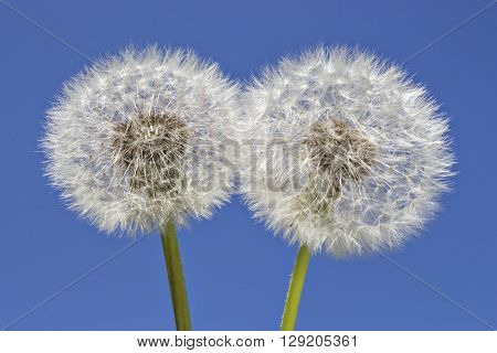 Close up of grown dandelions in the sunlight and a clear blue sky background